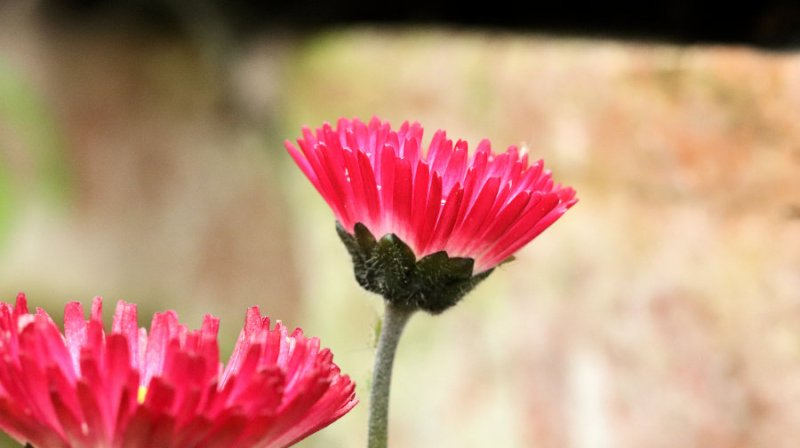 Bellis flower