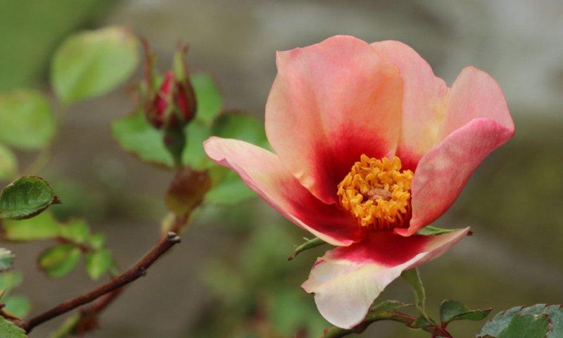 Rose shrub close up
